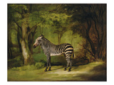 A Zebra  1763 (Oil on Canvas)