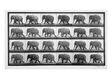 Elephant Walking  Plate 733 from &#39;Animal Locomotion&#39;  1887 (B/W Photo)
