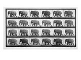 Elephant Walking, Plate 733 from 'Animal Locomotion', 1887 (B/W Photo) Giclée par Eadweard Muybridge