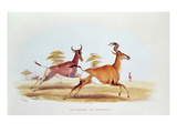 The Sassaybe and the Hartebeest  Illustration from 'Wild Sports of South Africa'  by WC Harris