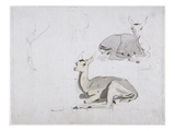 Studies of Young Pallah Deer Resting  C1802 (W/C and Graphite on Paper)