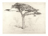 Old Cedar Tree in Botanic Garden  Chelsea  1854 (Pencil on Paper)