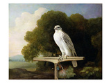 Greenland Falcon (Grey Falcon)  1780 (Oil on Panel)