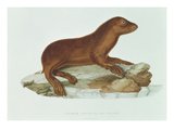 A Baby Australian Sealion (Neophoca Cinerea)