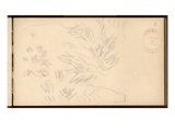 Mediterranean Vegetation  C1884 (Pencil on Paper)
