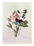 Sweet Peas (Lathyrus Odoratur) from &#39;Choix Des Plus Belles Fleurs&#39;  1827-33