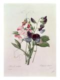 Sweet Peas (Lathyrus Odoratur) from 'Choix Des Plus Belles Fleurs'  1827-33