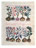 Medicinal Plants (Vellum)