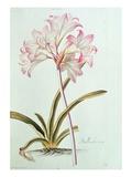 Lily: Lilium Belladonna  (Pl12) from Trew's Hortus Nitidissumus 1  1750