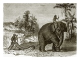 Working Elephant in Ceylon