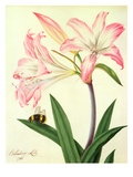 Lilium Belladonna and Bee  1786 (W/C and Gouache over Pencil on Paper)