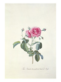 Rose: Dutch Hundred-Leaved Rose
