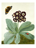 Primula Auricula with Butterfly and Beetle (Gouache over Pencil on Vellum)