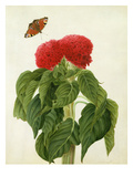 Celosia Argentea Cristata and Butterfly (W/C and Gouache over Pencil on Vellum)