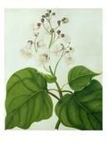 Catalpa Speciosa (W/C and Gouache over Pencil on Vellum)