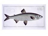 Salmon (Salmo Maraena) Plate XXVII
