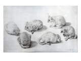 Studies of a Lemur  1773 (Graphite on Paper)