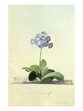 Fille Amoureuse (Blue Auricula)