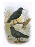 Common Starling (Top) and Intermediate Starling (Bottom)