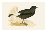 Black Wheatear   from 'A History of the Birds of Europe Not Observed in the British Isles'