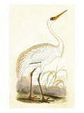 Siberian Crane   from 'A History of the Birds of Europe Not Observed in the British Isles'