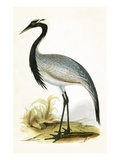 Numidian Crane   from 'A History of the Birds of Europe Not Observed in the British Isles'