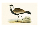 Spur Winged Plover   from 'A History of the Birds of Europe Not Observed in the British Isles'