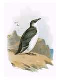 Razorbill