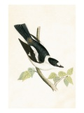 White Collared Flycatcher