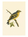 Citril Finch   from 'A History of the Birds of Europe Not Observed in the British Isles'