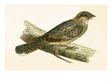 Russet Necked Nightjar   from 'A History of the Birds of Europe Not Observed in the British Isles'