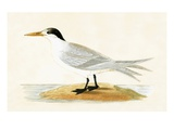 Allied Tern  Illustration from 'A History of the Birds of Europe Not Observed in the British Isles'