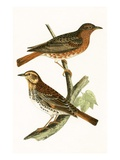 Naumann's Thrush   from 'A History of the Birds of Europe Not Observed in the British Isles'