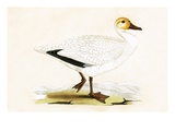 Snow Goose  Illustration from 'A History of the Birds of Europe Not Observed in the British Isles'