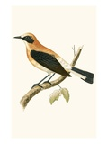 Black Eared Wheatear   from 'A History of the Birds of Europe Not Observed in the British Isles'