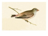 Desert Trumpeter Bullfinch