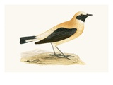 Russet Wheatear   from 'A History of the Birds of Europe Not Observed in the British Isles'