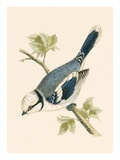 Azure Tit  Illustration from 'A History of the Birds of Europe Not Observed in the British Isles'