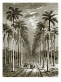 Avenue of Palm Trees  Leading to a Residence in Cuba