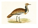Ruffed Bustard   from 'A History of the Birds of Europe Not Observed in the British Isles'