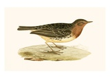 Red Throated Pipit   from 'A History of the Birds of Europe Not Observed in the British Isles'