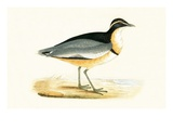 Black Headed Plover   from 'A History of the Birds of Europe Not Observed in the British Isles'