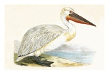 Dalmatian Pelican   from 'A History of the Birds of Europe Not Observed in the British Isles'