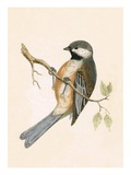 Siberian Tit   from 'A History of the Birds of Europe Not Observed in the British Isles'