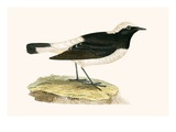 Pied Wheatear   from 'A History of the Birds of Europe Not Observed in the British Isles'