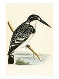 Black and White Kingfisher