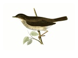 Thrush Nightingale   from 'A History of the Birds of Europe Not Observed in the British Isles'