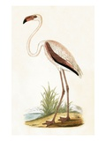 Rosy Flamingo   from 'A History of the Birds of Europe Not Observed in the British Isles'