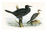 Little Cormorant   from 'A History of the Birds of Europe Not Observed in the British Isles'