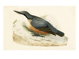 Dalmatian Nuthatch   from 'A History of the Birds of Europe Not Observed in the British Isles'